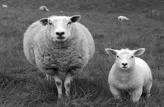 pecora e pecorino